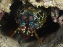 Peacock mantis shrimp. In Bohol sea Philippines stock photos