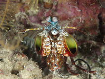 Peacock mantis shrimp Stock Image