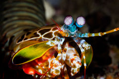 Peacock Mantis Shrimp. A colorful Peacock mantis shrimp crawls across a coral reef in Raja Ampat, Indonesia. This remote region is known for its incredible stock photo