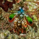 Peacock mantis shrimp. Face of a peacock mantis shrimp stock photography