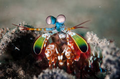 Peacock mantis shrimp in Gorontalo, Indonesia underwater photo Royalty Free Stock Photography