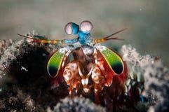 Free Peacock Mantis Shrimp In Gorontalo, Indonesia Underwater Photo Royalty Free Stock Photography - 43853147