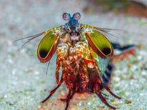 Peacock mantis shrimp, Odontodactylus scyllarus. North Sulawesi. Brightly coloured peacock mantis shrimp, Odontodactylus scyllarus. A smasher stomatopod. Bangka stock images