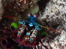 Close-up of peacock mantis shrimp. Peacock mantis shrimp, Odontodactylus scyllarus, threat display. Alor Archipelago, Lesser Sunda Islands, Indonesia royalty free stock photos