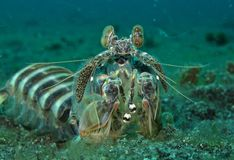 Peacock Mantis Shrimp Royalty Free Stock Image