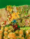 Peacock Mantis Shrimp showing off in the gloom Stock Image