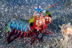 Peacock Mantis Shrimp. Vividly colored Peacock Mantis Shrimp on a black sandy seabed Stock Photo