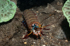 Peacock mantis shrimp Royalty Free Stock Images
