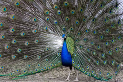 Peacock during mating dance. Colorful, beautiful peacock during ritual, mating dance Stock Photography