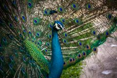 Peacock in a mating display. Peacock raising his iridescent green covert feathers with their distinctive eye pattern in a fan shaped courtship display as he Stock Photo