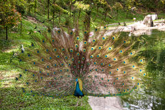 Peacock in a mating display. Peacock raising his iridescent green covert feathers with their distinctive eye pattern in a fan shaped courtship display as he Royalty Free Stock Images