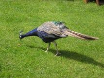 Peacock on meadow Royalty Free Stock Photos