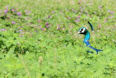 Peacock in a meadow Stock Photo