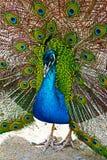 Peacock in the Mountains near Adelaide Australia Royalty Free Stock Photos