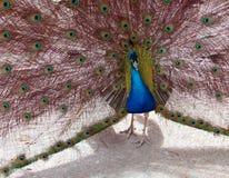 Peacock in the Mountains near Adelaide Australia Stock Photos