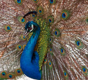 Peacock in the Mountains near Adelaide Australia Royalty Free Stock Images