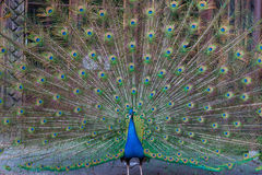 Peacock with multicolored feathers Royalty Free Stock Images