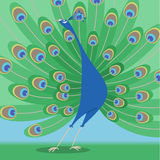 Peacock. Multicolour standing peacock with beautiful feathers  illustration Stock Photo