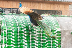 Peacock at Nami island in South Korea. royalty free stock photography