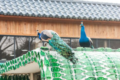 Peacock at Nami island in South Korea. stock images