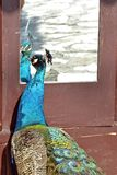 Peacock narcissist. A domestic male Peacock checking him self out in the mirror. Ada Ciganlija Lake, Belgrade, Serbia Royalty Free Stock Photos