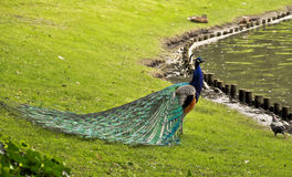 Peacock - nature art Royalty Free Stock Image
