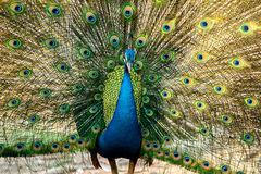 Peacock in nightsafari chiangmai Thailand Stock Image