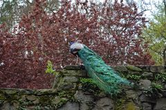 Peacock on old stone wall Stock Photography
