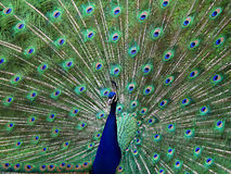 Peacock One. Male Peacock showing of his spread of feathers Stock Image