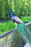 A peacock is in one of zoos of Ukraine. Beautiful peacock is in one of zoos of Ukraine Stock Image