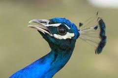 Peacock with open beak Royalty Free Stock Photo