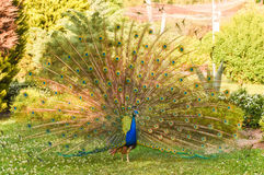 Peacock with open colorful tail. Beautiful peacock displaying his plumage. Portrait of peacock with feathers out Royalty Free Stock Images
