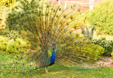 Peacock with open colorful tail. Beautiful peacock displaying his plumage. Portrait of peacock with feathers out. Royalty Free Stock Image