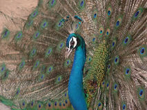 Peacock Open Feathers. Peacock with the Open feathers Royalty Free Stock Images