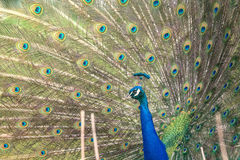 Peacock with open feathers Royalty Free Stock Image
