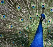 Peacock with open tail Stock Photo