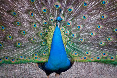 Peacock with open tail Stock Image