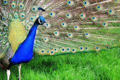 Peacock with the open tail and big blue-green eyespot Royalty Free Stock Photos