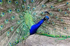 Peacock with the open tail and big blue-green eyespot Stock Images