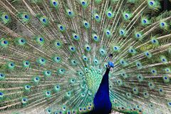 Peacock with the open tail and big blue-green eyespot Stock Photography