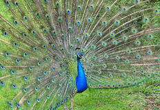 Peacock with open tail Stock Images