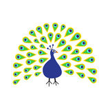 Peacock with open tail. Feather out. Beautiful Zoo animal collection. Exotic tropical bird.  Royalty Free Stock Image