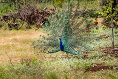 Peacock with open tail, Israel stock photography