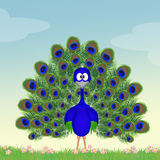 Peacock with open tail Royalty Free Stock Images