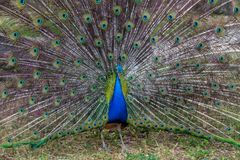 Peacock with open tail, Israel stock photo