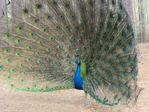 Peacock open tail stock images