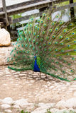 Peacock with open tail Stock Photography