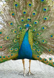 Peacock with open train. Stock Image