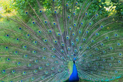 Peacock with open wings. A peacock with open wings Royalty Free Stock Photography