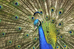Peacock Opened Tail. Colorful feathers stock photos